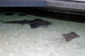 Guitarfish and Sting Ray