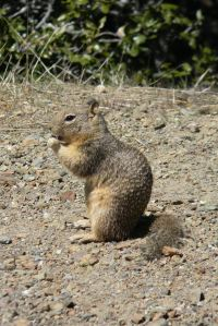 Mt. Diablo: Squirrel