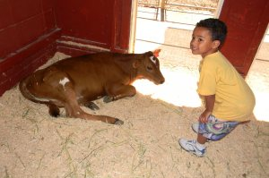 A calf and Jack