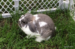Buttercup, a broken opal Holland lop rabbit