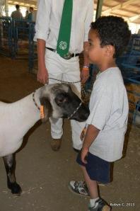 Aries  the sheep checks out Jackson