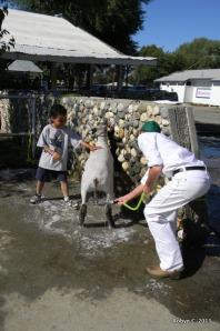 Jackson and G washing G's sheep