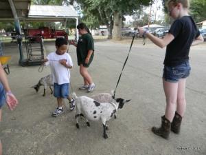 Jackson walks Nigerian goats